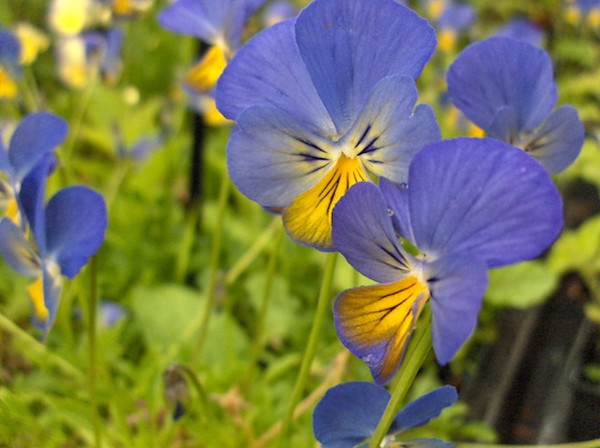 Viola cornuta 'Ardross Gem'
