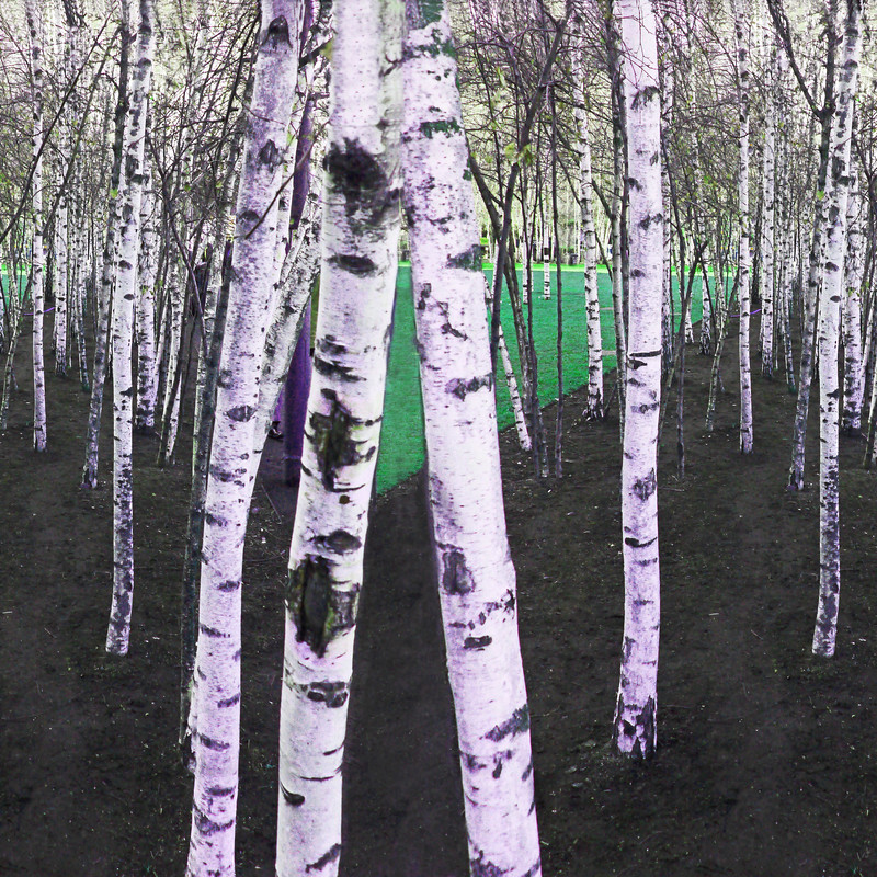 Silver Birch Trees~1379-5sq.