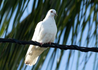 Waikiki White Rock Pigeons