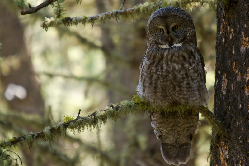 A great gray owl gazes over the forest floor