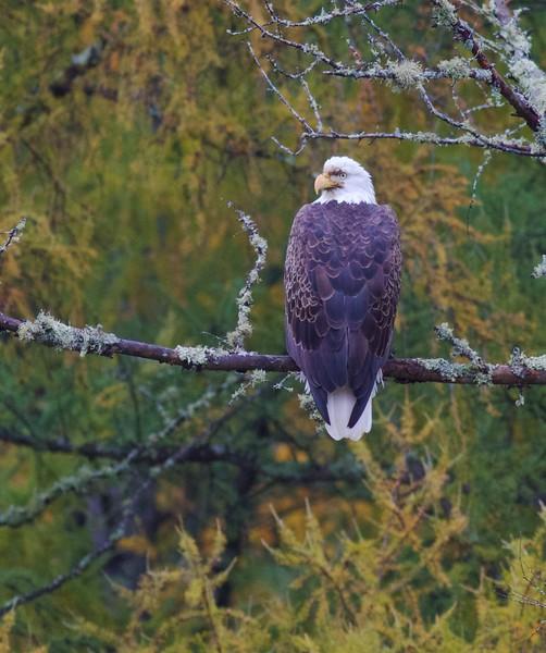 Bald Eagle CR133 Sax-Zim Bog MN IMG_3160.jpg