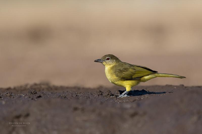 Yellow-bellied Greenbul, Mashatu GR, Botswana, May 2017-5.jpg