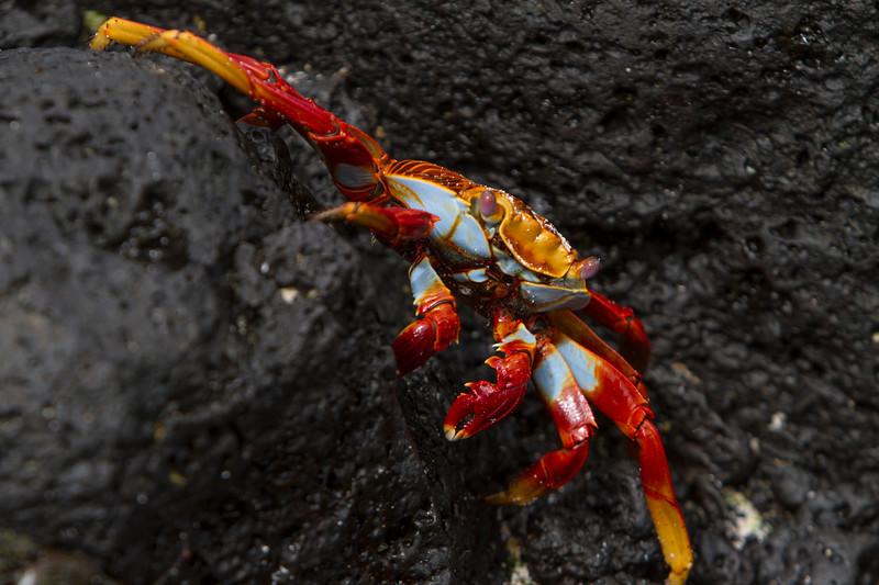 Sally Lightfoot Crab 2 on Cerro Brujo, San Cristobal.jpg
