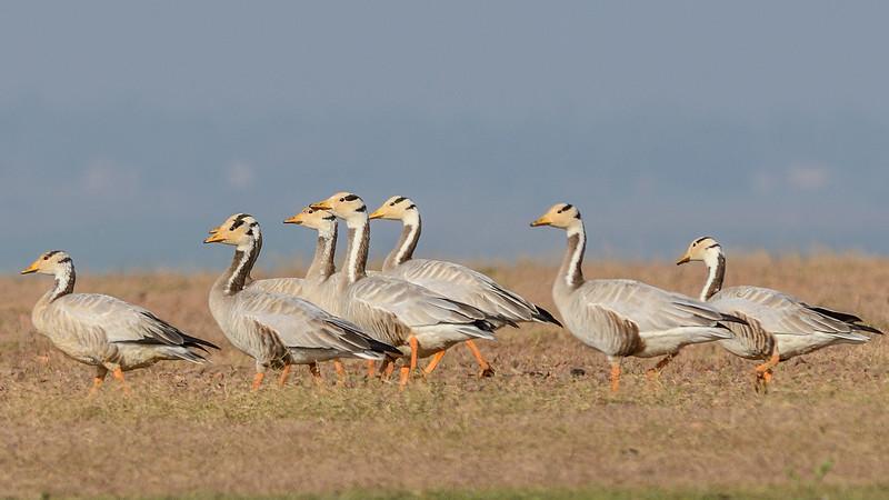 Bar-headed-Geese-Hampi-Ankasamudra-1.jpg
