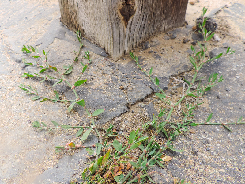 Knotgrass (Polygonum aviculare) POLYGONACEAE