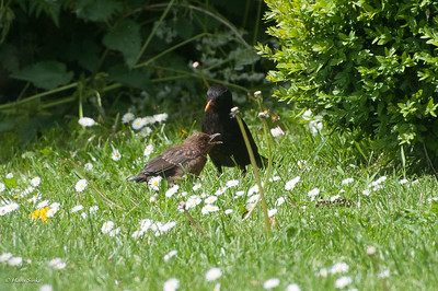 Blackbird, Common
