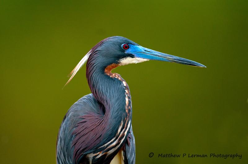 Tricolor Heron