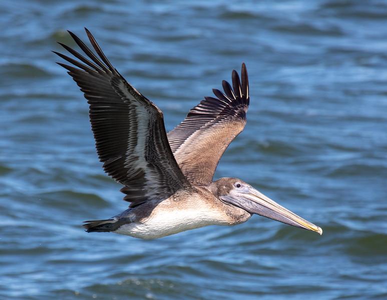 Brown-Pelican-1.jpg