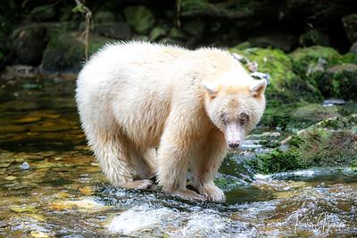 Spirit Bears - Great Bear Rainforest