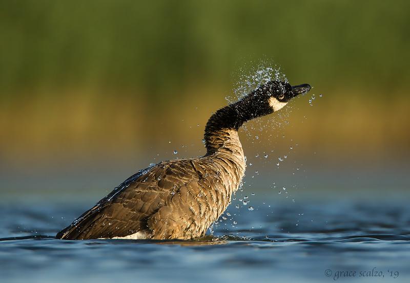 Canada goose shake