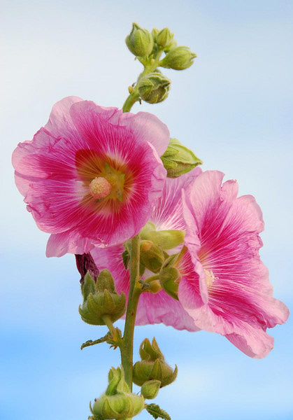7/1/07 – Lisa really wanted me to get a picture of some hollyhocks growing in the area. They remind her of her grandparents' home in Glenwood, Alberta, Canada. Grandma Thomas had hollyhocks growing in her garden.
