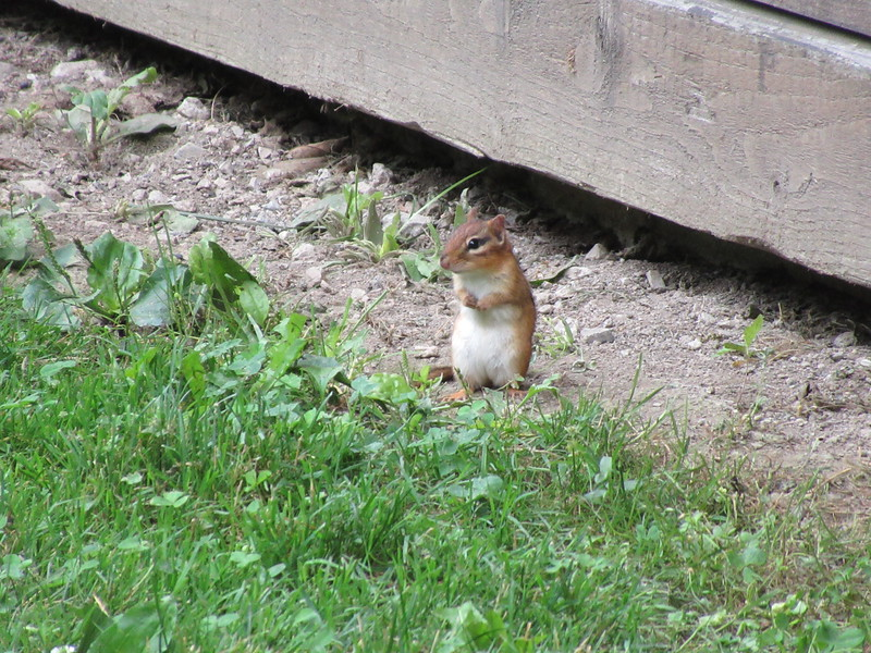 The chipmunk who scared everyone (he's a speedy animal).