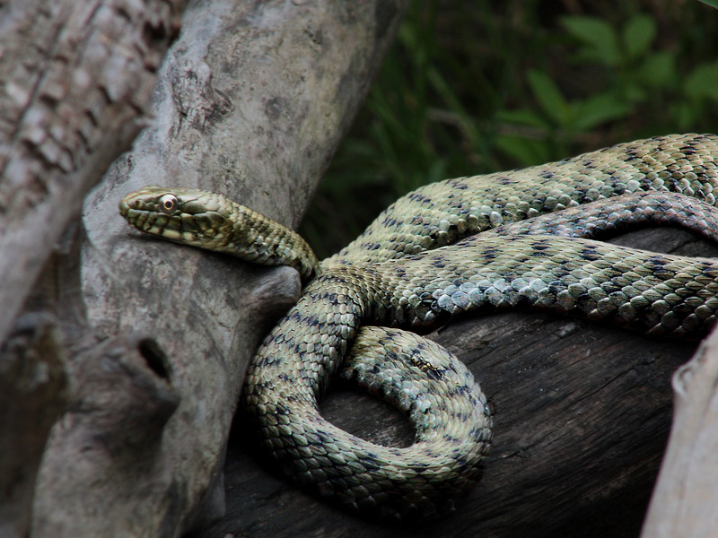 Äsculapnatter (Aesculapian snake) Elaphe longissima - protected  Corrected 2012-06-11  Dice snake (Natrix tessellata)