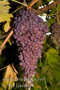 Midgely's Purple Grape (Seedless) - Vitis vinifera