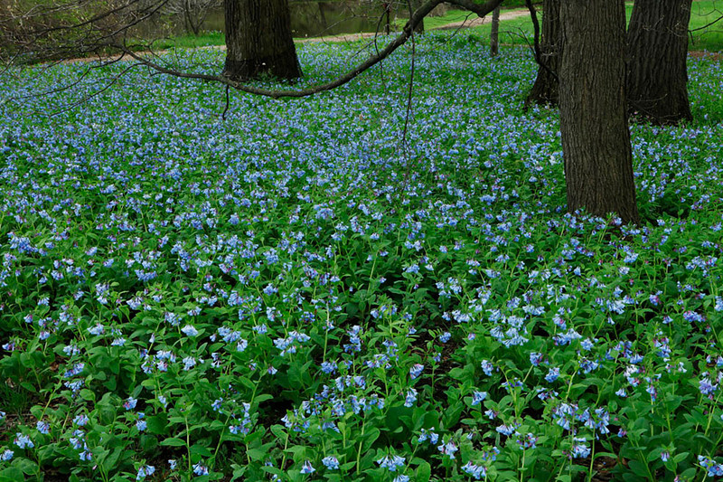 Virginia bluebells, Illinois