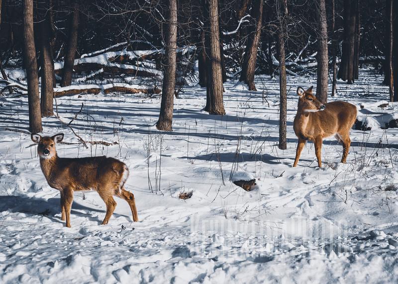 DeerIrvingParkjan2019-18.jpg