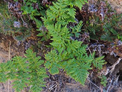 California Lace Fern (Aspidotis californica)