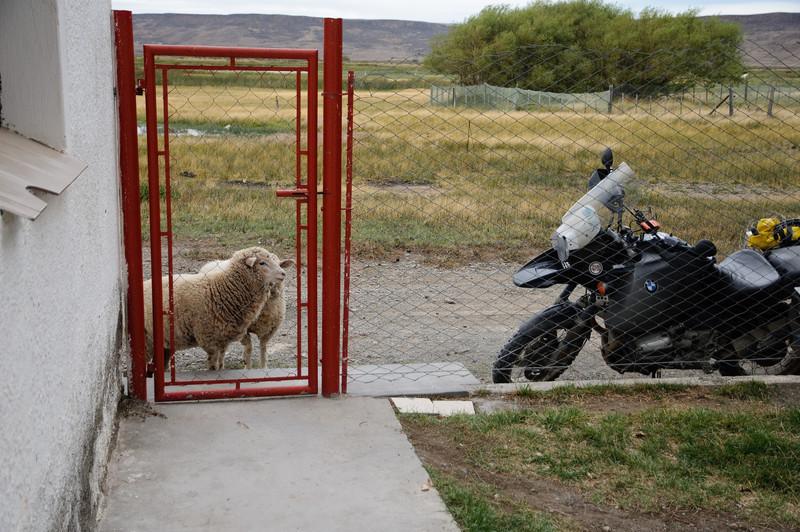 Estancias Sheep waiting for a Date