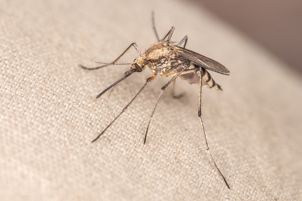 Aedes trivittatus - Plains floodwater mosquito (USA)