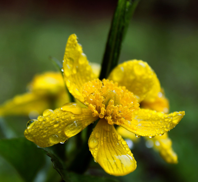 Marsh Marigold.jpg