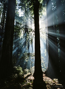 The Magnificent Redwoods