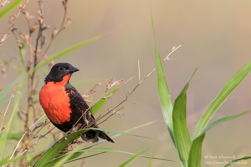 Red-breasted Blackbird - Nariva Swamp, Trinidad