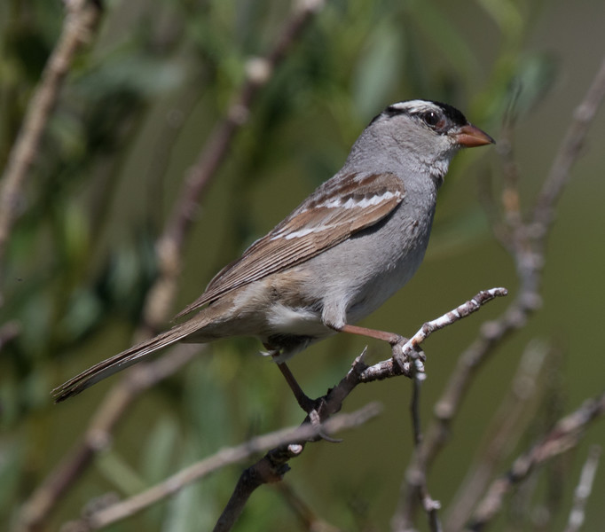 White-crowned Sparrow Oreantha  Mammoth Lakes 2018 06 29-2.CR2