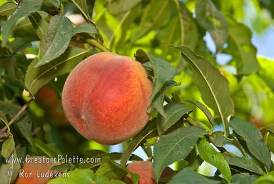 Long Beach Peach - Prunus persica sp.
