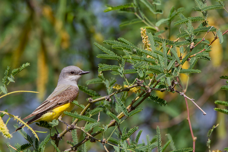 Western Kingbird - Tucson, AZ, USA