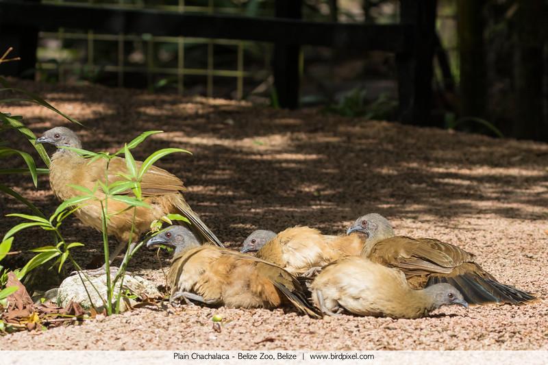 Plain Chachalaca - Belize Zoo, Belize