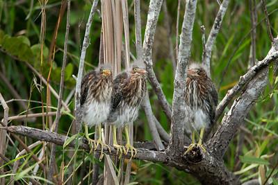 03_Everglades - Heron - Tricolored - Juvenile