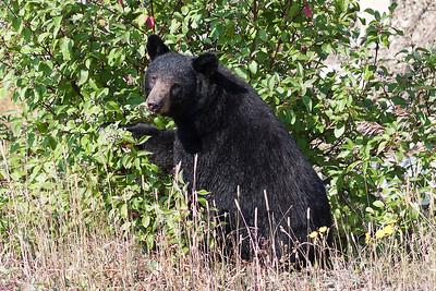 Black Bears in Canada