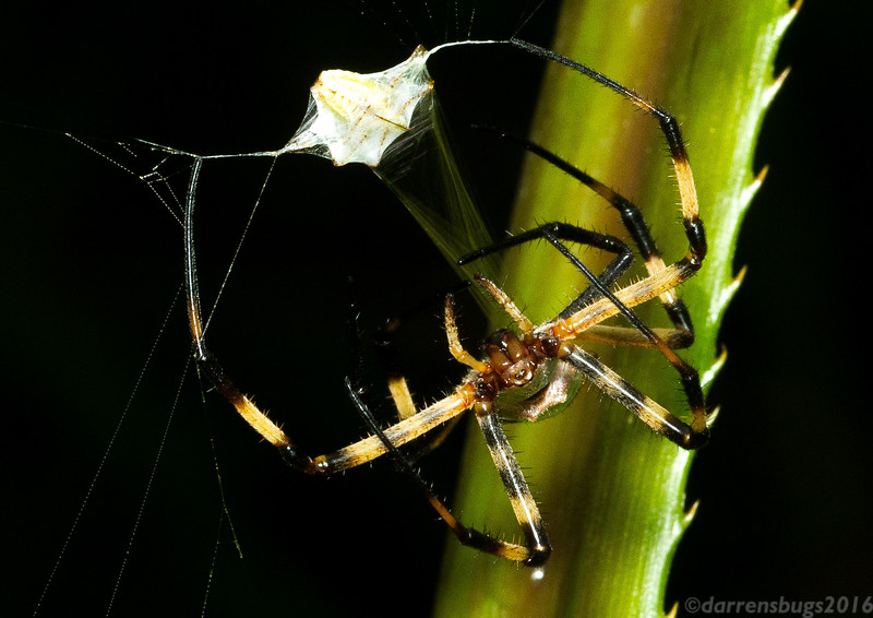 A sizeable orb weaver (Argiope: either A. argentata or A. submaronica) wraps up her unfortunate prey in Panama.