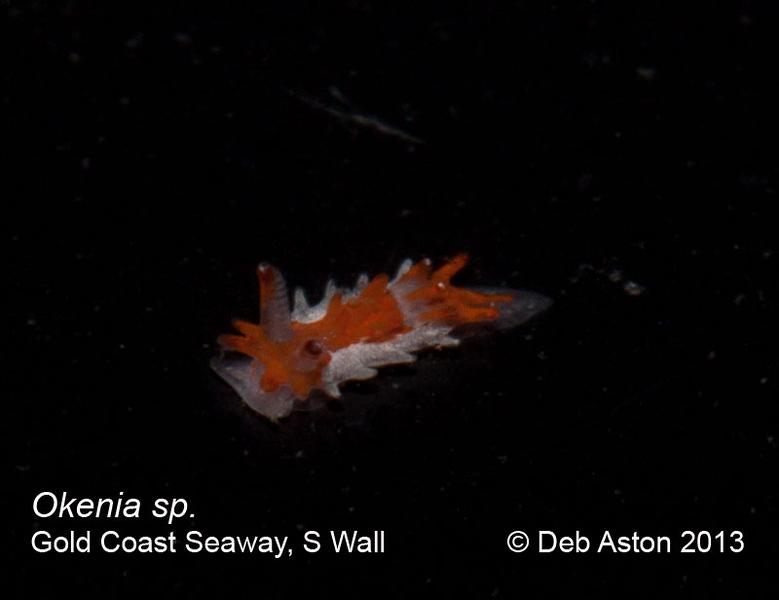 Okenia sp. 1 Gold Coast Seaway