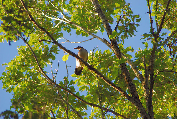 Duck in Tree