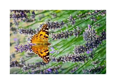 Wildlife:  Butterflies