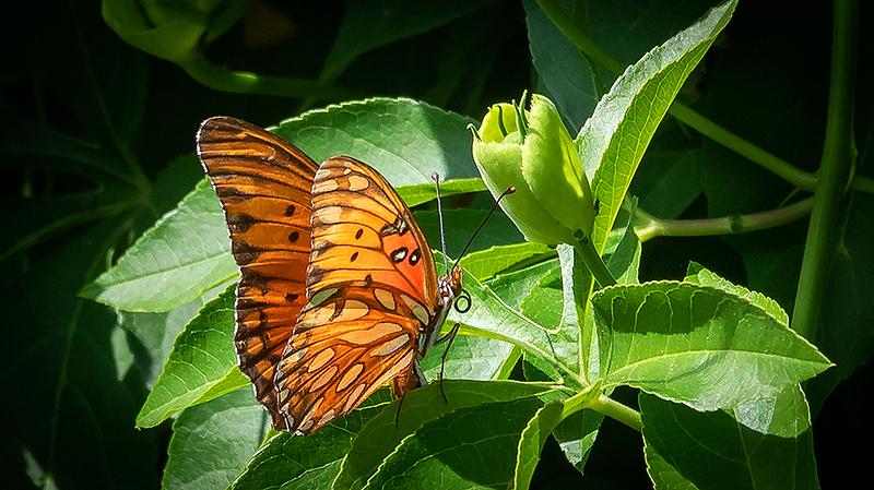 Mission San Juan Capistrano Butterfly 1 .-2562.jpg