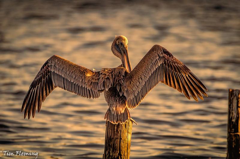 Pelican wings sunset 102916 (1 of 1).jpg
