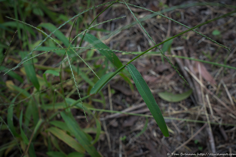 Mystery grass 5 (Digitalia sp)?