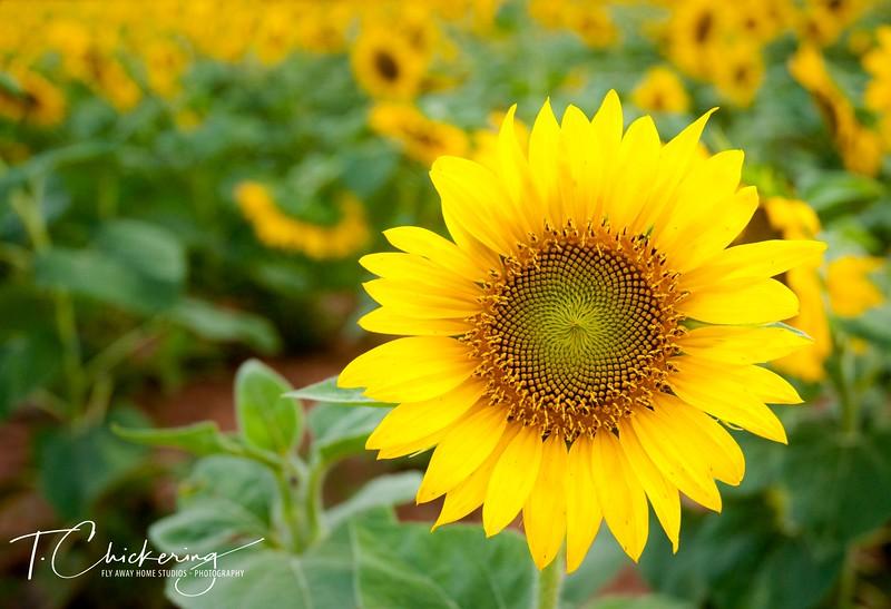 Sunflower-1505698009310.jpg