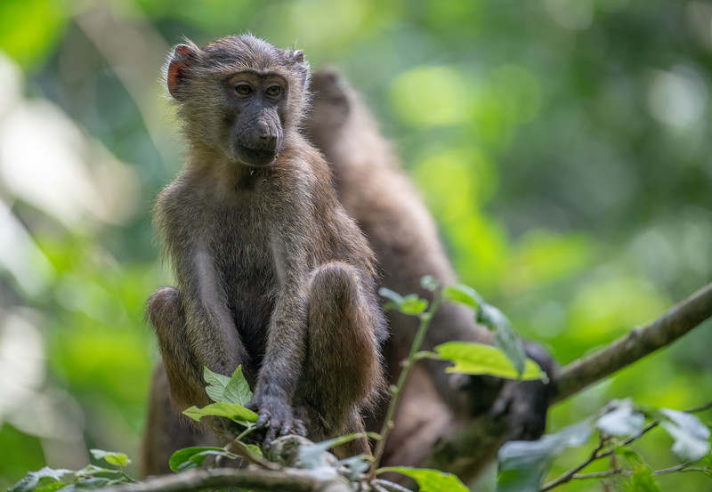 Uganda_T_Chimps-1518.jpg