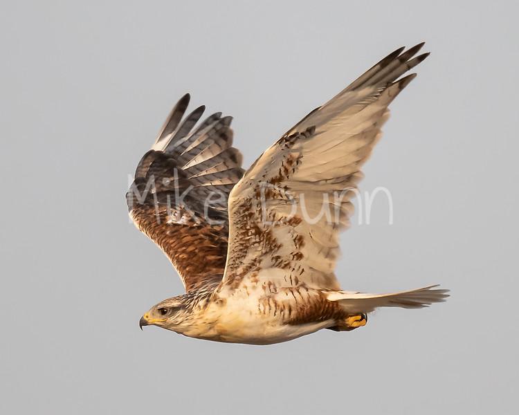 Ferruginous Hawk-172