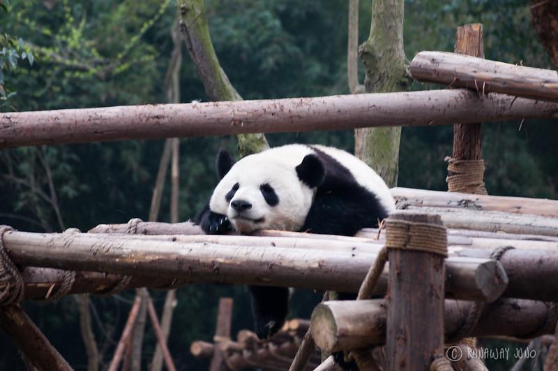 Giant_Panda_Sleeping_Chengdu_Sichuan_China.jpg