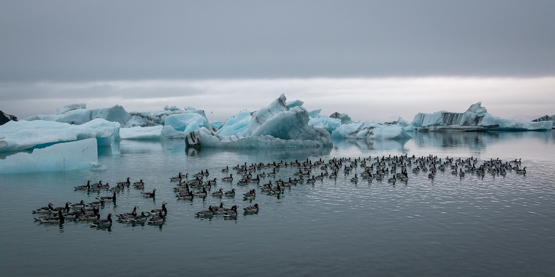 Icebergs and Geese, Oh My