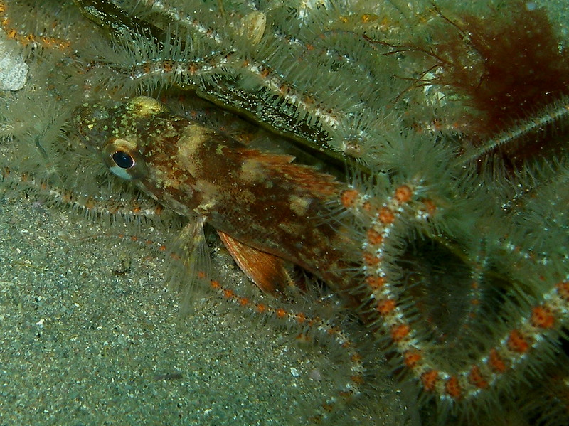 Hanging with the Brittle stars, this young rockfish tried to tuck itself away on the bottom, shy fellow!