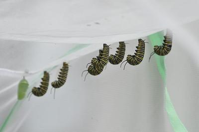 Raising Monarch Caterpillars into Butterflies