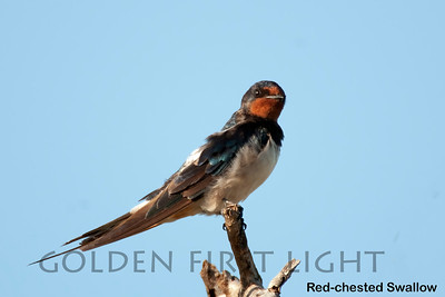 Red-chested Swallow, Kenya