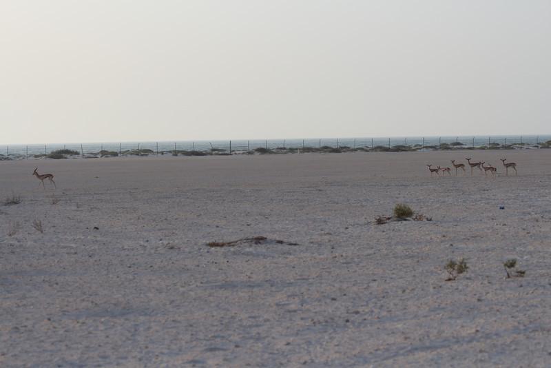 IMG_7115_Arabian Oryx_007.JPG
