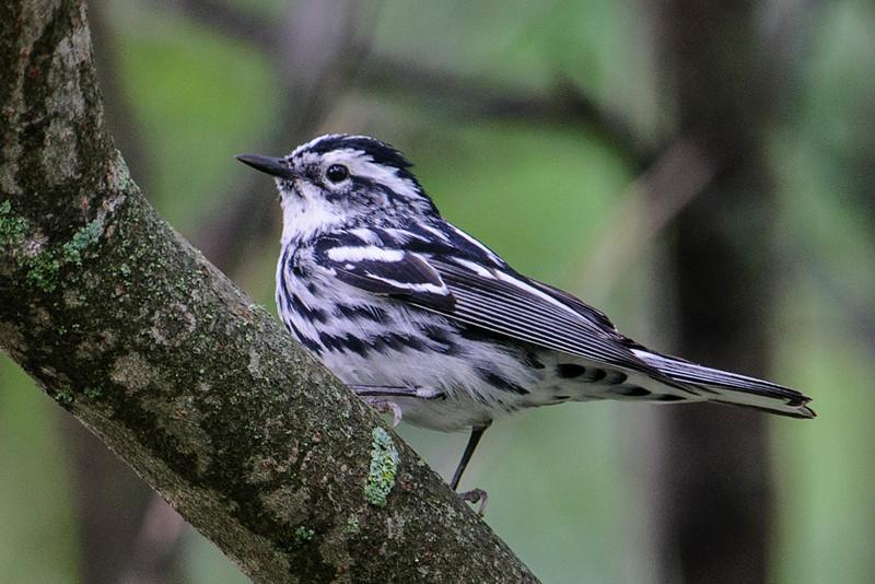 Warbler - Black and White - female - White Oak Lake - Deer River, MN
