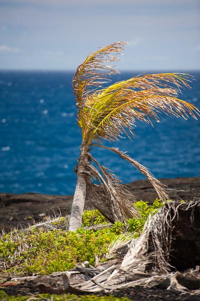 Hawaii Palms 6